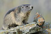 Alpine Marmot (Marmota marmota),  young. Großglockner,  Austrian Alps.