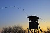 Flying goose,  Hunting hide,  Germany