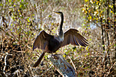 Female Anhinga at the Circle B Bar Reserve Environmental Nature Center Lakeland Florida Polk County U S