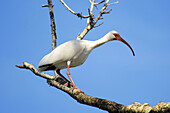 White Ibis at the Circle B Bar Reserve Environmental Nature Center Lakeland Florida Polk County U S