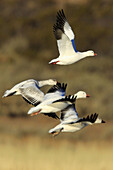 Snow goose,  Anser caerulescens,  Schneegans,  four in flight,  take off,  winter quarters,  Bosque del Apache National Wildlife Refuge,  New Mexico,  USA