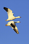 Snow goose,  Anser caerulescens,  Schneegans, two in flight,  blue sky,  winter quarters,  Bosque del Apache National Wildlife Refuge,  New Mexico,  USA