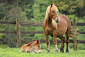 Mare and foal in enclosure. Santibañez de Murias,  Aller,  Asturias,  Spain