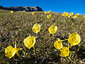 Bell-shaped yellow daffodils (Narcissus bulbocodium) in Gorbea Natural Park,  Biscay,  Basque Country,  Spain.