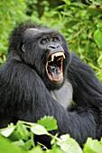 Male silverback mountain gorilla yawning (Gorilla beringei beringei) Virunga National Park,  Democratic Republic of Congo,  Africa