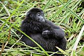 Juvenile eastern lowland gorilla resting in the marshes of Kahuzi Biega Park (Gorilla beringei graueri) Democratic  Republic of Congo,  Africa