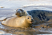 Grey Seals Halichoerus grypus at Donna Nook,  Lincolnshire,  England,  UK