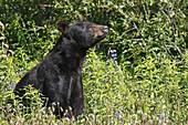 Amerikanischer Schwarzbär / American Black Bear / Ursus americanus / Kluane-Nationalpark / Kluane National Park and Reserve,  Kanada,  canada,  USA