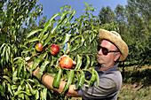 Agriculture, Farmer, Food, Fruit, Glassies, Italy, Peach, Summer, Sun, Tree, Vegetable, Worker, XJ9-812384, agefotostock