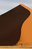 Camelthorn tree (Acacia erioloba) and a big sand dune at tha back,  Namib_Naukluft National Park,  Namib desert,  Namibia
