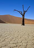 Camelthorn dead tree (Acacia erioloba),  Dead Vlei,  Namib_Naukluft National Park,  Namib desert. Namibia