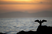 northern gannet Morus bassanus standing on rocks with wings outstretched in northern ireland as sun sets over the north atlantic between northern ireland and the republic of ireland