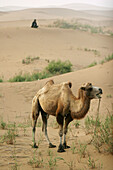 Asiatic camel in the Tengger desert Ningxia China August 2007