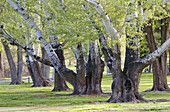 Trees in Hood Park,  Pasco,  Washington