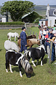 Visitors admire Shetland Ponies at Gott Farm, Weisdale, Mainland, Shetland Islands, Scotland, Great Britain, Europe