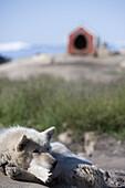 Sledge dog lying in front of doghouse, Ilulissat (Jakobshavn), Disko Bay, Kitaa, Greenland