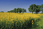 Rape field and chestnut alley, Mecklenburg lake district, Mecklenburg-Western Pomerania, Germany
