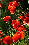 Red poppies in a field, Agriculture