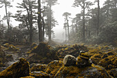 Mossy trees and stones in the fog, Trek towards Gocha La in Kangchenjunga region, Sikkim, Himalaya, Northern India, Asia