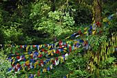 View at prayer flags between trees, Sikkim, Himalaya, Northern India, Asia