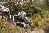 Yaks as beasts of burdon, Trek towards Gocha La in Kangchenjunga region, Sikkim, Himalaya, Northern India, Asia