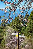 Signpost and almond blossom, El Jesus, La Palma, Canary Islands, Spain, Europe