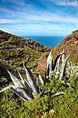 Agave in the sunlight, Santo Domingo de Garafia, La Palma, Canary Islands, Spain, Europe