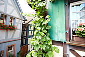 Half-timbered house with vine tendril, Gengenbach, Black Forest, Baden-Wuerttemberg, Germany