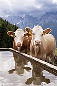 Cattle near Ritzau Alp, Kaisertal, Ebbs, Tyrol, Austria