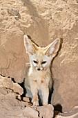 Fennec Fox, Canis zerdus, libyan desert, Libya, Africa