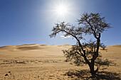 Acacia Tree in the libyan Desert, Libya, Sahara, Africa