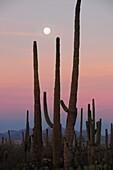 Saguaro cactus Carnegiea gigantea grow along Bajada Loop Drive as the full moon, a blue moon, sets in Saguaro National Park in the Sonoran Desert,Tucson, Arizona, USA