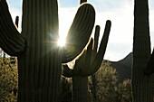 Saguaro cactus Carnegiea gigantea grow along Bajada Loop Drive in Saguaro National Park in the Sonoran Desert,Tucson, Arizona, USA