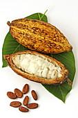Cocoa fruit still life  Theobroma cacao)