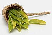 Leaves of the teaplant Mate, Matetea, Ilex paraguariensis