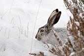 Lievre de Townsend - Lievre a queue blanche - portrait - Whitetail Jackrabbit - Lepus townsendii