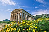 Spring at Segesta, Sicily, Italy  Doric temple built by Elymian people 430-420 BCE, lit by late afternoon sun with blue sky and white clouds  Yellow, wild chrysanthemums in the foreground  province of Trapani