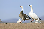 Snow Goose  Chen caerulescens), blue phase, Bosque del Apache National Wildlife Refuge, New Mexico, USA