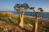 Desert-rose  Adenium obesum socotranum), Dihamri beach, Socotra island, Yemen