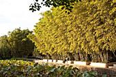 Bamboo and lotus plants at Green Lake Park, Kunming, Yunnan, People's Republic of China, Asia