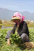 Farmer harvesting, agriculture around Erhai lake, Dali, Yunnan, People's Republic of China, Asia