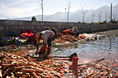 Carrot harvesting at Erhai lake, women cleaning the carrots in the water of a side canal, Yunnan, People's Republic of China, Asia