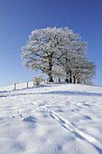 Snowy landscape with snow covered oak trees in the background, Upper Bavaria, Bavaria, Germany