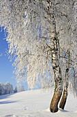 Snow covered birch trees, Upper Bavaria, Bavaria, Germany