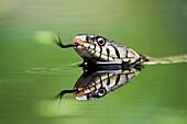 Grass snake Natirx natrix close-up of adult swimming in water  UK  June 2009