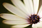 Aussen, Blütenblatt, Blütenblätter, Blume, Blumen, Draussen, Empfindlich, Farbe, Horizontal, Nahaufnahme, Nahaufnahmen, Natur, Pflanze, Pflanzen, Spezialeffekte, Tageszeit, Weiß, Zartheit, Zerbrechlichkeit, G96-878690, agefotostock