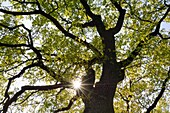 Oak Tree Quercus spec  close up with sun at backlight, lensflare  Mecklenburg-Western Pomerania, Germany, Europe