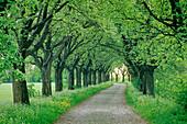 Rowan alley near Kefferhausen, Thuringia, Germany