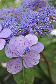 Close up of the violet flowers of a hydrangea aspera
