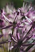 Close up of allium rosenbacherianum